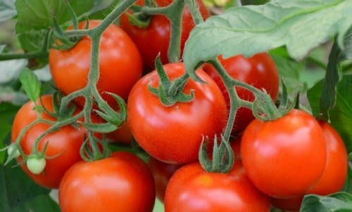 Как выращивают томаты настоящие агрономы- нам есть чему поучиться