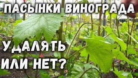 Пасынки винограда, удалять или нет?