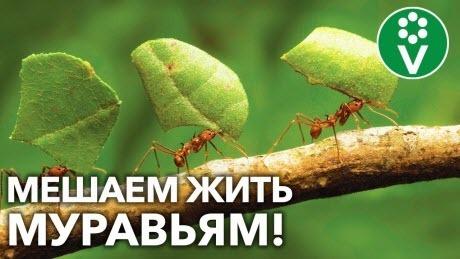 МУРАВЬИ НАДОЛГО УЙДУТ С УЧАСТКА! Убедительно просим насекомых «на выход»!