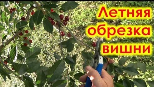 Летняя обрезка вишни