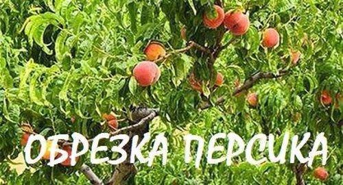 Летняя обрезка молодого персика