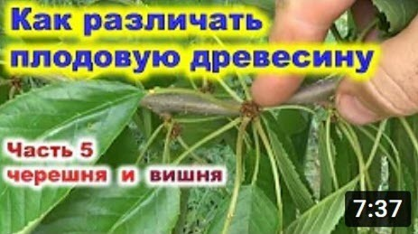 Плодовая древесина на вишне и черешне