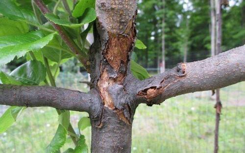 Лечение повреждений коры на яблоне
