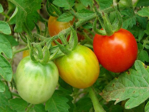 Супер способ ускорить созревание томатов и не допустить болезни