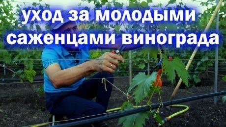 Уход за молодыми саженцами винограда