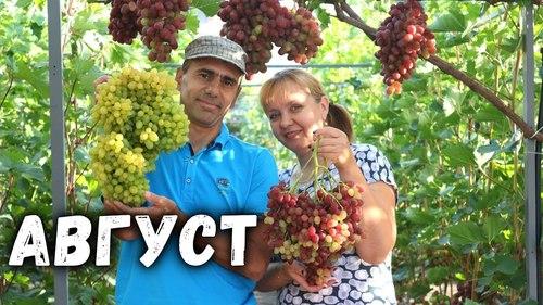 План работ на винограднике в Августе
